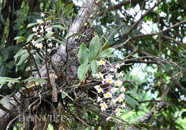 Lạ mắt lan rừng đưa về xuôi vẫn bung hoa dày đặc-8
