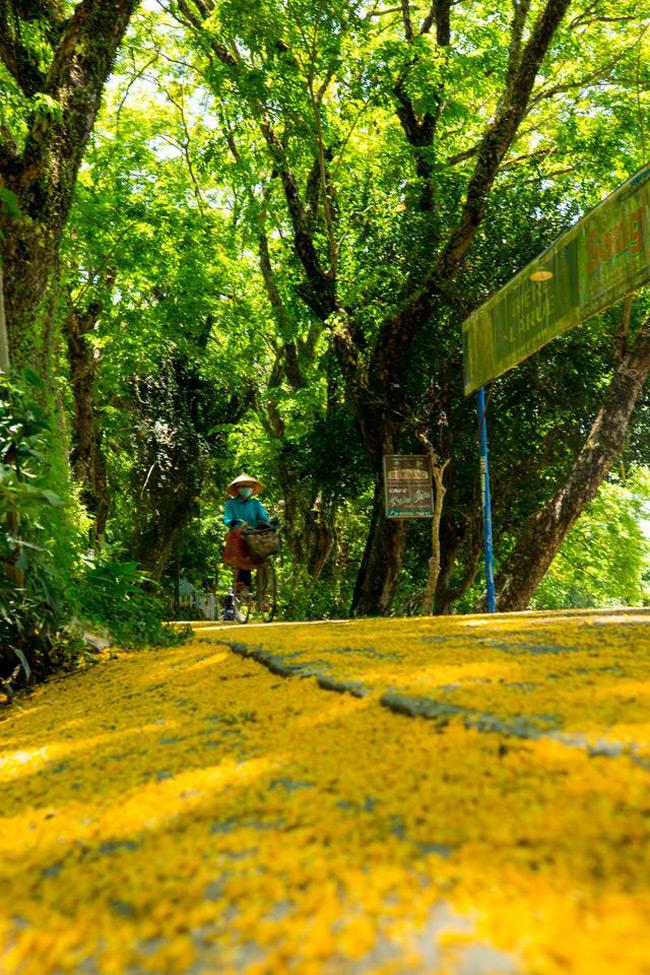 Một trong những nét riêng của Quảng Nam khi mỗi dịp tháng tư về đó chính là con đường hoa Sưa vàng rực ở Quảng Nam khiến cả thành phố Tam Kỳ khoác trên mình một chiếc áo mới.