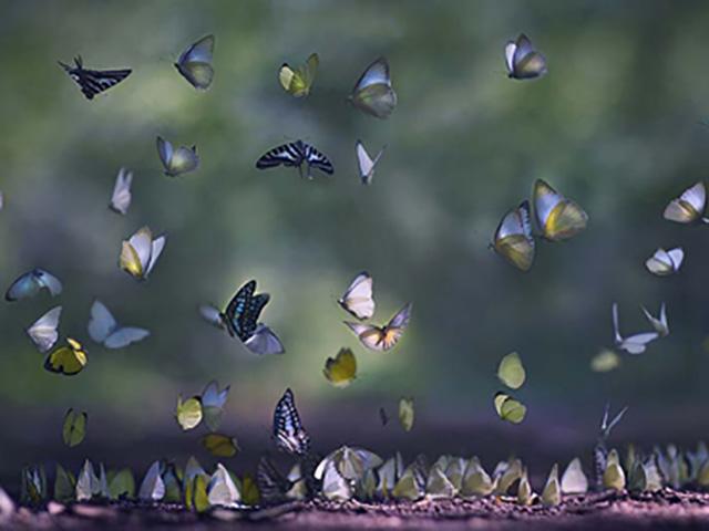 Nhanh chân ghé Cúc Phương ngắm rừng bướm rực rỡ, mỗi năm chỉ có 1 lần