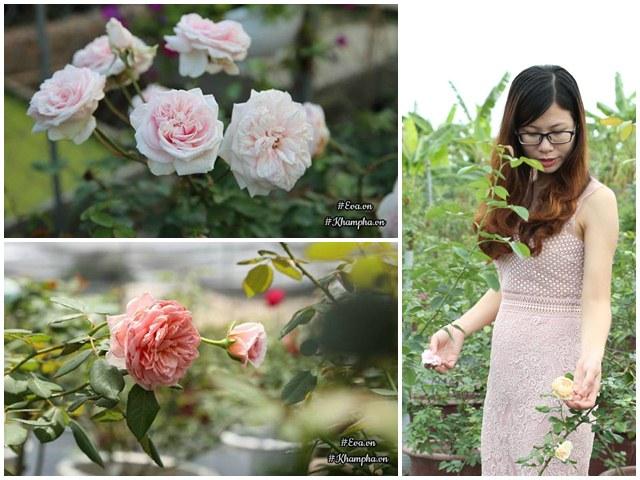 Vườn hồng khủng nhiều gốc quý của cô gái 9X học kinh tế đi làm nông dân