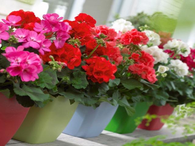 5 loại hoa vừa đẹp lại có công dụng đuổi muỗi xuất sắc nên trồng ngay trong nhà