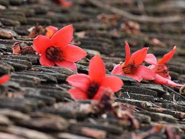 Xao xuyến mùa hoa gạo nở đỏ rực các miền quê