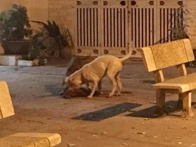 Chó cưng bị 2 con Pitbull cắn xé tới chết, chủ nhân đau đớn đứng nhìn vì…bất lực