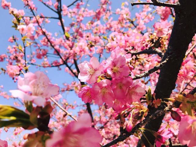 Giữa tháng 4 đến ngay Nhật Bản để đón đúng mùa 100 loài hoa anh đào nở rộ