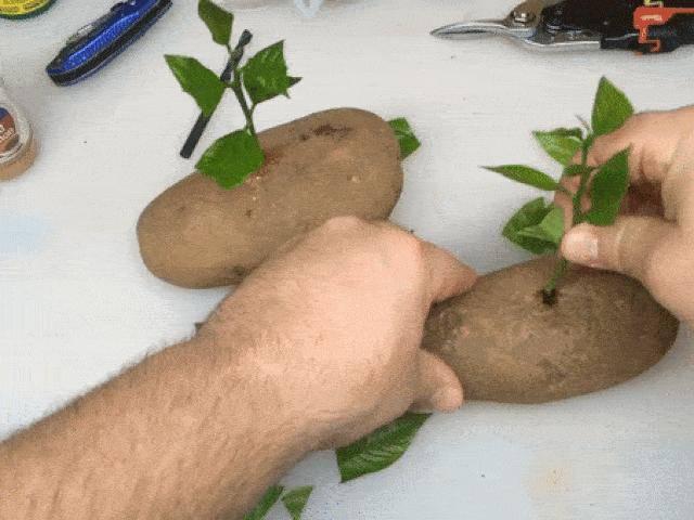 Lạ đời cách trồng cây chanh sai trĩu quả bằng... củ khoai tây, ai cũng muốn học theo