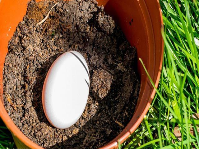 Cô gái lén lấy quả trứng chôn xuống vườn, ai cũng ngạc nhiên khi thấy thành quả