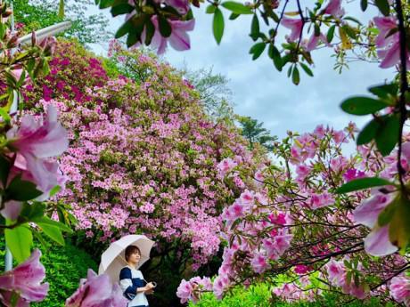 """""""Đã mắt"""" với những thảm đỗ quyên nhiều màu sắc, cao ngập đầu người ở Nhật Bản"""