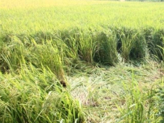 Con dâu tá hỏa phát hiện bố chồng tử vong bất thường dưới ruộng lúa