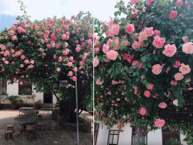 Xuất hiện giàn hoa hồng leo khổng lồ đẹp xuất sắc khiến dân mạng... đứng ngồi không yên