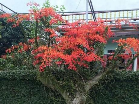 Tháng 5 rực rỡ: Ngắm lan huyết nhung nở đỏ rộ như hoa phượng vĩ