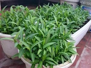 Mách chị em cách trồng rau muống trong thùng xốp đơn giản, sau 1 tháng rau lên phủ kín vườn