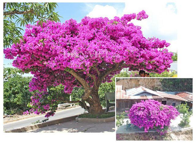 Người Đà Lạt và du khách sốt rần rần với cây hoa giấy khổng lồ siêu đẹp