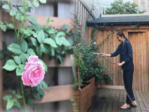 Mê mẩn vườn hồng đẹp an yên và bí quyết chăm hồng nở rực rỡ của Tăng Thanh Hà