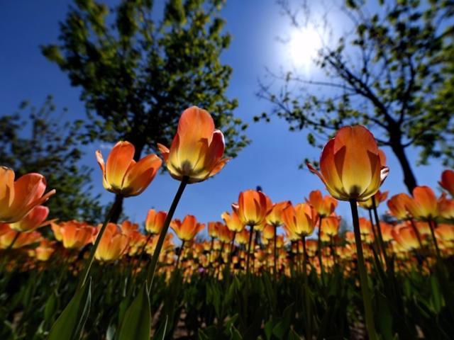 Không cần tới Hà Lan, ngay láng giềng Việt Nam cũng có thiên đường hoa tulip đẹp chất ngất!