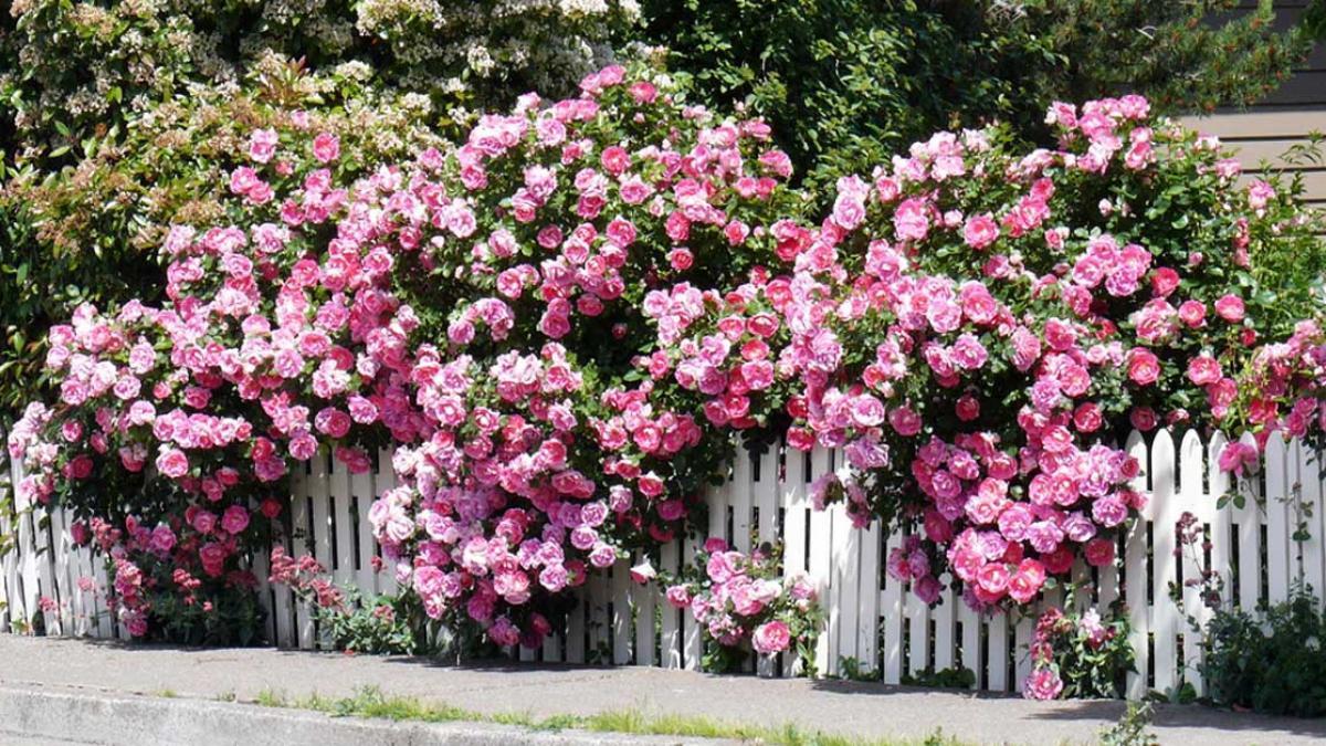 Hoa hồng leo - Hình ảnh hoa hồng leo đẹp không nên bỏ qua