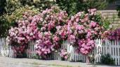 """Tiết lộ bí quyết """"độc"""" trồng và chăm hoa hồng leo Pháp tại nhà nở rực rỡ, thơm quyến rũ"""