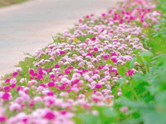 Dân mạng mê mệt con đường hoa khoe sắc rực rỡ đẹp như tiên cảnh ở làng quê Nam Định