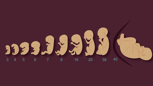 Sự phát triển thai nhi