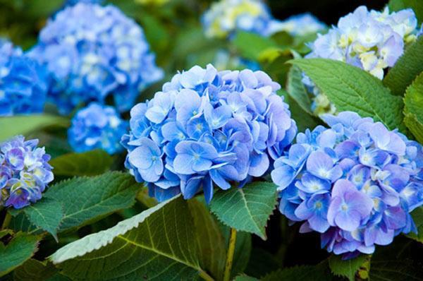 Hoa Cẩm Tú Cầu đẹp, ý nghĩa và cách chăm hoa nở đều