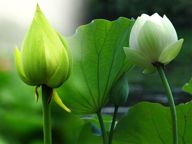 Bí quyết trồng hoa sen xanh nở rực, đẹp hút hồn ngay trong sân nhà