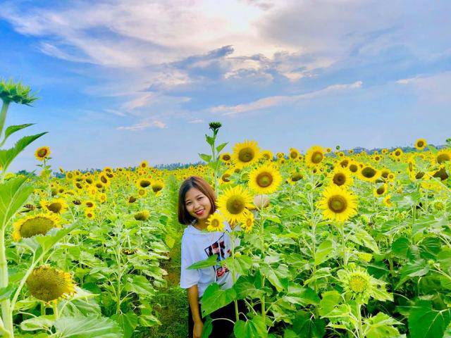 Cánh đồng hoa hướng dương ở Thái Bình hút khách những ngày đầu hè