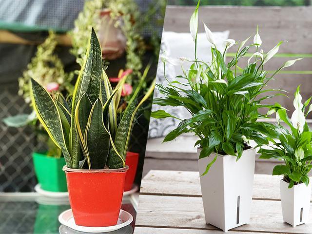4 loại cây cảnh đẹp nhất định nên trồng trong nhà vì có tác dụng lọc không khí cực đỉnh