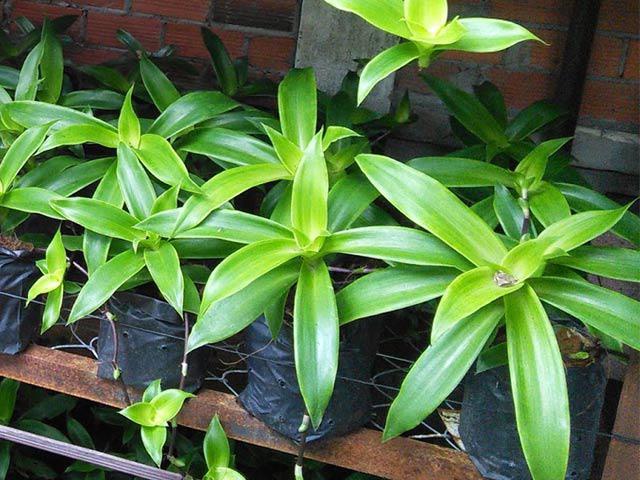 Trồng cây lược vàng giúp tẩy uế không khí trong phòng rất tốt lại làm cây thuốc hay