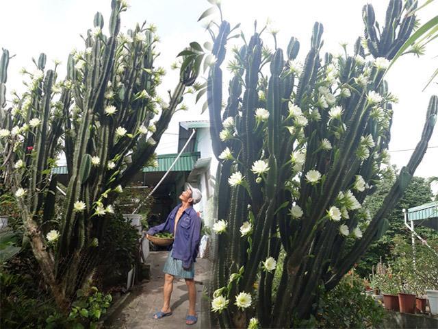 Dân mạng sửng sốt trước cây xương rồng 30 năm tuổi khổng lồ, ra hoa trắng muốt ở Quảng Ninh