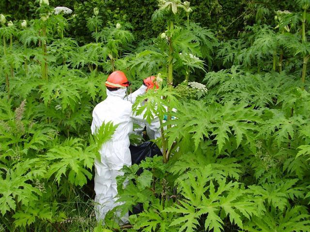 Loại cây có tên rất quen, đẹp mà hóa ra cực độc, có thể gây mù vĩnh viễn