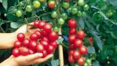 3 cách trồng cà chua trong thùng xốp siêu nhanh lại nhàn tênh, cho hàng trăm quả mỗi mùa