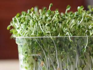 2 cách trồng rau mầm tại nhà cực đơn giản, dễ chăm sóc