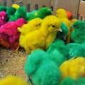 Tin tức - Nguy cơ từ gà con nhuộm phẩm màu 10.000 đồng/con