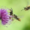 Sức khỏe - Làm gì khi ong đốt?