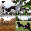 Tin tức - Ảnh động vật: Chim cánh cụt chụp ảnh như người