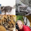 Tin tức - Ảnh động vật: Sư tử đói vồ người trong lồng sắt