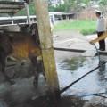 Mua sắm - Giá cả - Chiêu bẩn: Bơm nước vào bò để thu lợi
