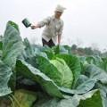 Mua sắm - Giá cả - Giá rau củ tăng vọt: Nông dân chưa được lợi