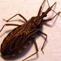 Tin tức - Quảng Bình: Phát hiện bọ xít hút máu người