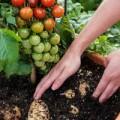Tin tức - Kỳ lạ cây gốc khoai tây, ngọn cà chua