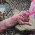 """Tin tức - Đổ xô xem lợn đẻ ra """"voi"""" ở Nghệ An"""