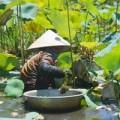 Tin tức - Mạo hiểm mạng sống bắt ốc bươu đen giữa đầm sen