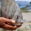 Tin tức - Loài cá chuyên ăn tinh hoàn người lại xuất hiện