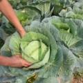 Nhà đẹp - 5 bước trồng bắp cải: Khó thành dễ