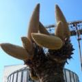 Tin tức - Kỳ lạ cây vạn tuế có tới 12 bông hoa ở Sóc Trăng