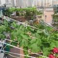 Nhà đẹp - Vườn rau sân thượng của mẹ chồng Tina