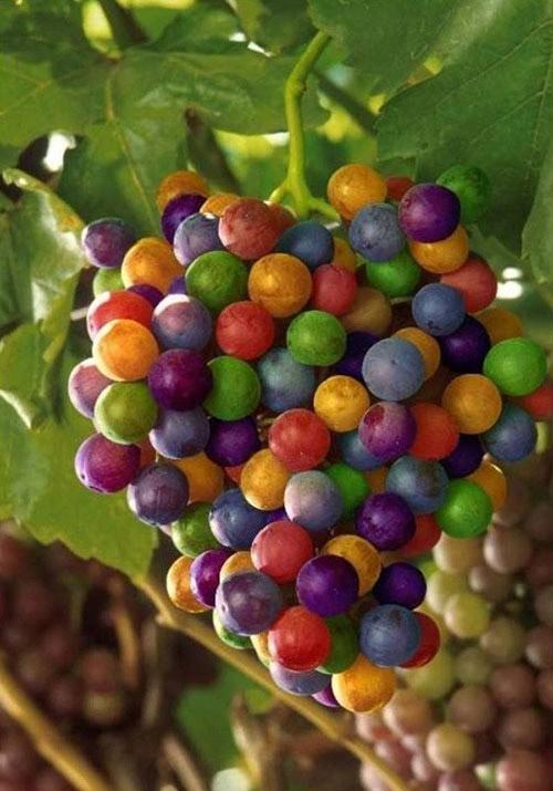 Khi trái cây có màu khác với chúng ta thường thấy-9