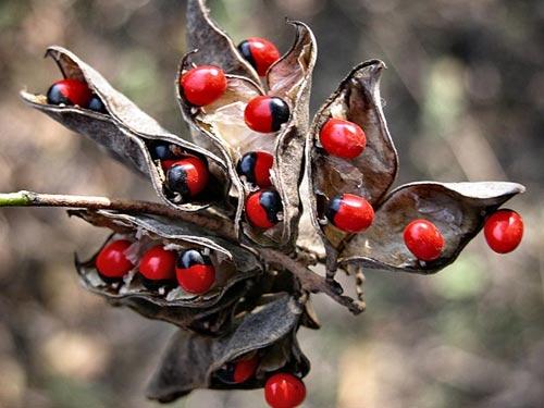 Những loại quả đẹp mắt chứa nhiều độc tố-3