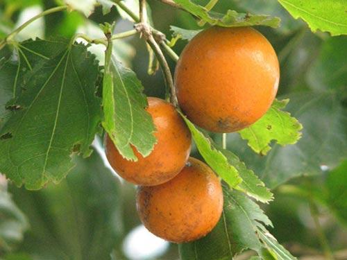 Những loại quả đẹp mắt chứa nhiều độc tố-4