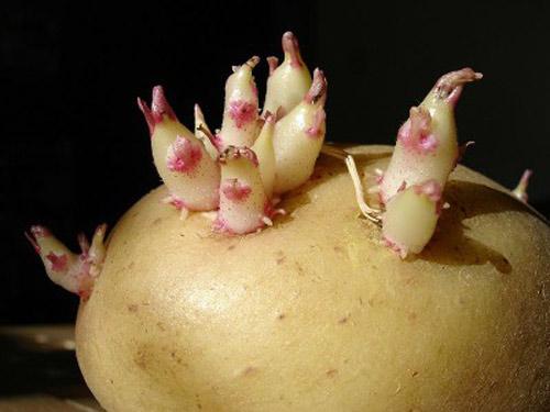 Những loại quả đẹp mắt chứa nhiều độc tố-6