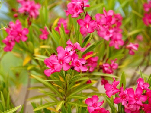 Hoa, cây cảnh chứa độc đe dọa sức khỏe-2